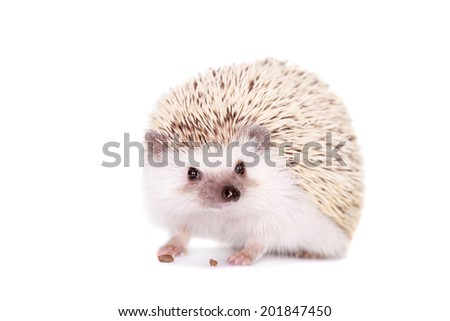 Domesticated hedgehog or African pygmy - stock photo