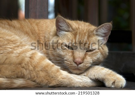 Domesticated Orange Tabby cat sleeping outside on wood patio deck looking briefly then back to his nap - stock photo