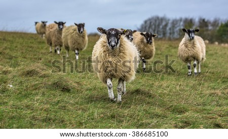 Domesticated woolly sheep on White Horse hill in south Oxfordshire, United Kingdom, running towards the camera with green horizon in the background. - stock photo