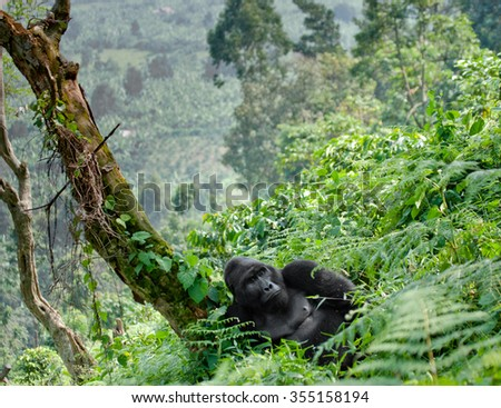Dominant male mountain gorilla in the grass. Uganda. Bwindi Impenetrable Forest National Park - stock photo