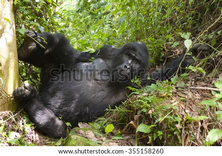 Dominant male mountain gorilla in the grass. Uganda. Bwindi Impenetrable Forest National Park. An excellent illustration. - stock photo