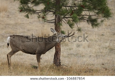 Dominant Mule Deer Buck working a scrape / licking branch - stock photo