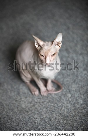Don Sphynx cat sits on the floor - stock photo