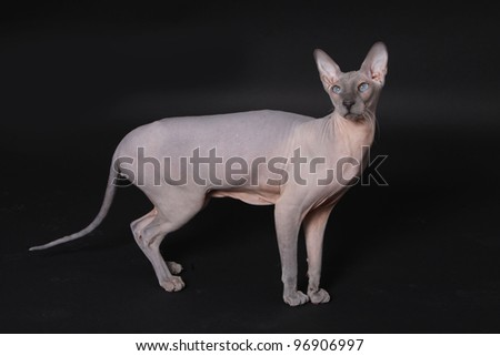 Don Sphynx (DON SPHYNX) cat. Isolated on black background