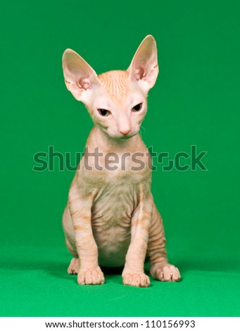 Don sphynx kitten on a green background