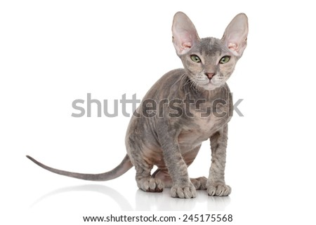 Don Sphynx kitten. Portrait on white background