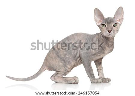 Don Sphynx kitten. Portrait on white background - stock photo