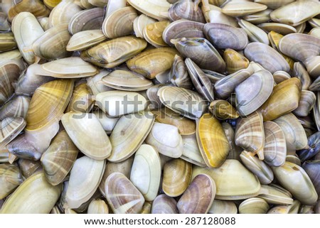 Donax trunculus, an edible species of saltwater clam, a bivalve species in the family Donacidae. Native to the Mediterranean and Atlantic coasts of western Europe. Harvest in South Portugal coast. - stock photo