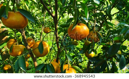 DONG THAP, VIET NAM, 26 JAN 2016: Tangerines trees in the garden. (small orange)