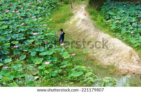 DONG THAP, VIET NAM- SEPT 22: Asian farmer picking lotus flower at lotus pond, flowers bloom in vibrant pink, green leaf, lonely Vietnamese man at wide flora lake,Vietnam, Sept 22, 2014
