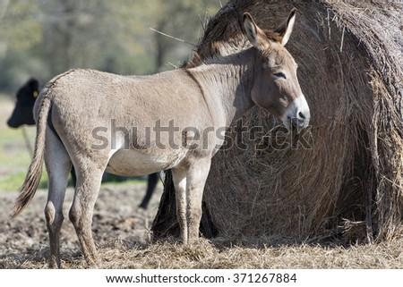 Donkey at Haystack - stock photo
