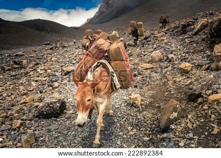 Donkey caravan in Nepal - Annapurna trekking - stock photo