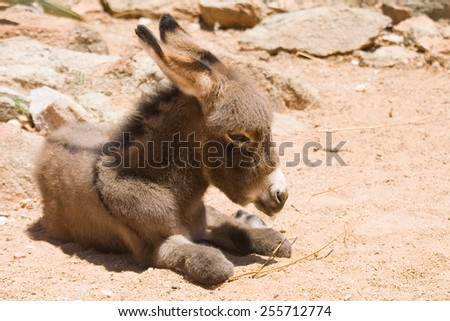 Donkey foal at the campsite. - stock photo