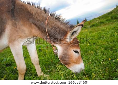 Donkey grazing - stock photo