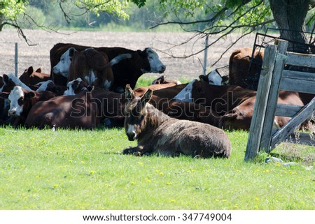 Donkey guarding cows.
