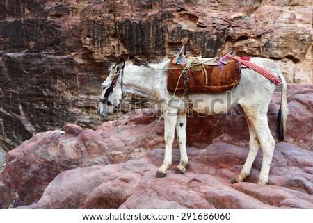 Donkey in Petra, lost city in Jordan. Famous UNESCO heritage site - stock photo