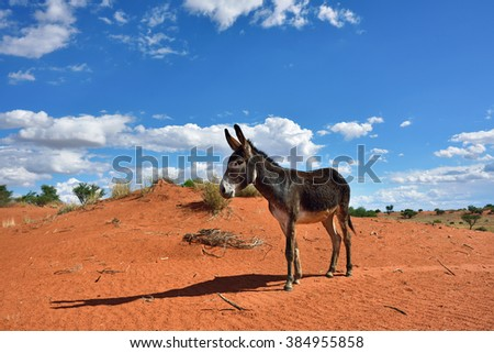 Donkey in the Kalahari desert, Namibia, Africa - stock photo