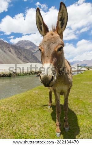 Donkey, India - stock photo