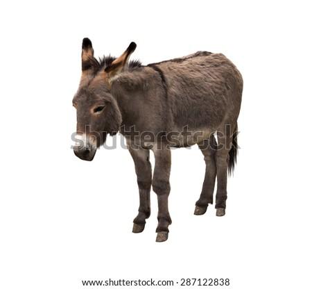 Donkey isolated on white - stock photo