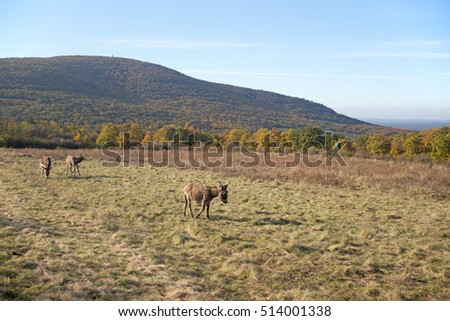 donkey, Matra Mountains, Hungary