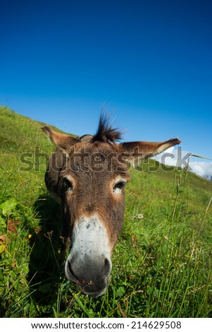 donkey on a meadow in the high mountains in summer - stock photo