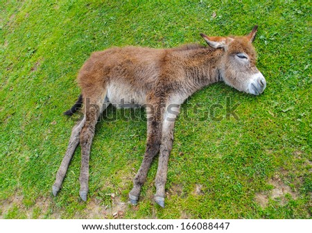 Donkey sleeping on the grass