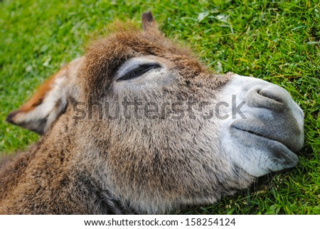 donkey sleeping on the grass. close up - stock photo