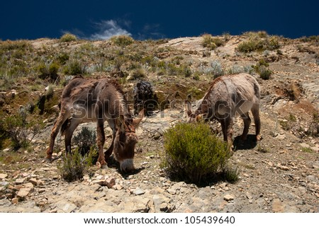 Donkeys (Equus africanus asinus) on isla del sol on the lake titicaca in Bolivia - stock photo