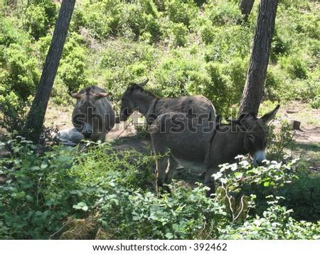 Donkeys in France. - stock photo