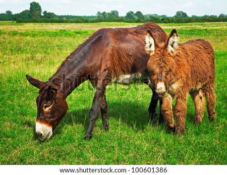 Donkeys in the field