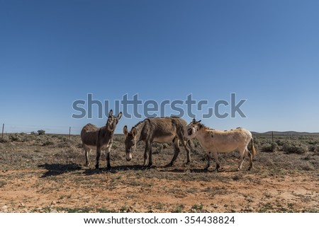 Donkeys in the Outback  - stock photo