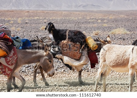 Donkeys of nomads carrying goods and a goat through stony desert. - stock photo