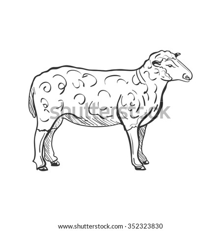 Doodle Sketchy Sheep. Isolated in white background.  - stock photo