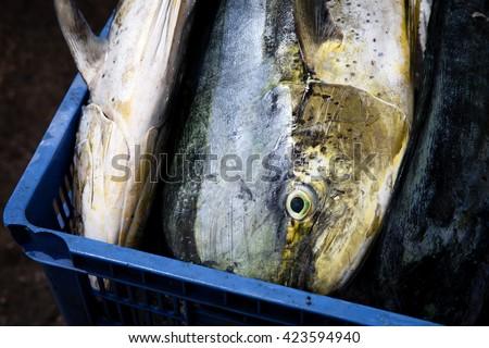 Dorado dolphin fish also known as mahi-mahi or Coryphaena Hippurusl  lying on fish market tropical island Bali / Dorado dolphin fish also known as mahi-mahi or Coryphaena Hippurusl / Indonesia, Bali - stock photo