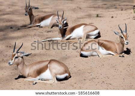 Dorcas Gazelles sitting on sand in wildness - stock photo