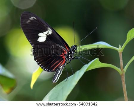 Doris Longwing Butterfly - stock photo