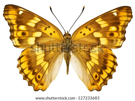 Dorsal view of Aglais ilia (Lesser Purple Emperor) butterfly isolated on white background.