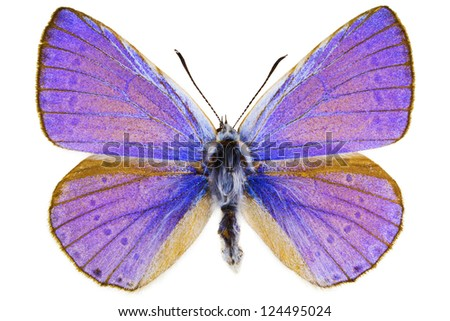 Dorsal view of Iolana iolas (Iolas Blue) butterfly isolated on white background.