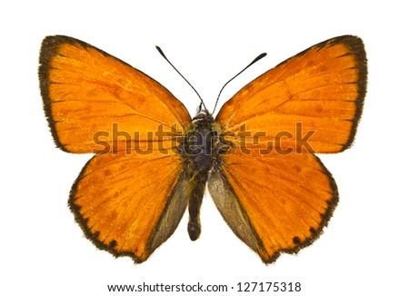 Dorsal view of Lycaena virgaureae (Scarce Copper) butterfly isolated on white background. - stock photo