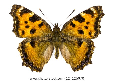 Dorsal view of Nymphalis xanthomelas (Yellow-legged Tortoiseshell) butterfly isolated on white background. - stock photo