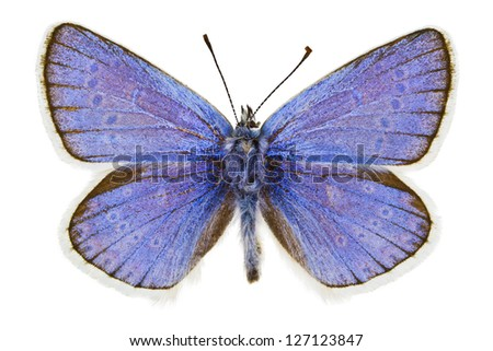 Dorsal view of Polyommatus dorylas (Turquoise Blue) butterfly isolated on white background.