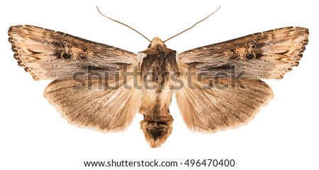 Dorsal view of Sword-grassl (Xylena exsoleta) isolated on white