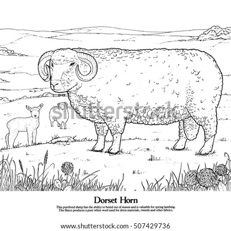 Long horn sheep coloring pages ~ Dorset Horn Sheep One Series Drawings Stock Illustration ...