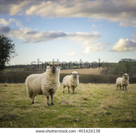 Dorset Sheep in Cotswolds Landscape. UK