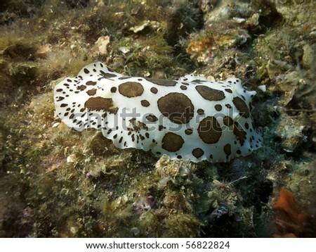 Dotted sea slug - stock photo