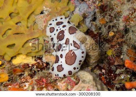 Dotted sea slug (dalmatian nudibranch, Peltodoris atromaculata) - stock photo