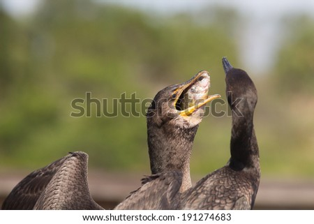 Double Crested Cormorant feeding Fledged Young