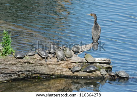 Double-crested Cormorant (Phalacrocorax auritus) and Red-eared Sliders (Trachemys scripta) in Central Park, New York - stock photo