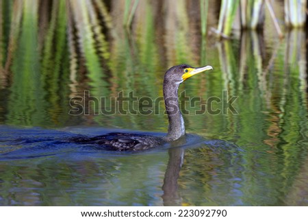 Double-crested Cormorant swims in a marsh at Quivira National Wildlife Refuge in Kansas - stock photo