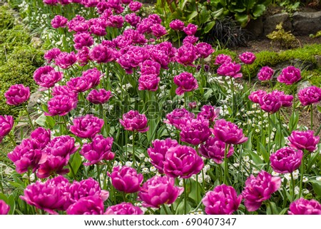 double dark pink spring tulips